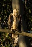 Afrykanin Koronowany Eagle Obrazy Stock