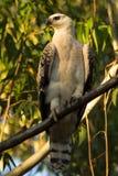 Afrykanin Koronowany Eagle Fotografia Stock