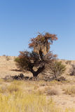 Afrykanin, krajobrazowa Kalahari pustynia, safari pustkowie Fotografia Stock