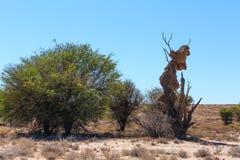 Afrykanin, krajobrazowa Kalahari pustynia, safari pustkowie Zdjęcia Stock