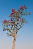 afrykanin kwitnie czerwonej wiosna czas drzewa Obraz Stock