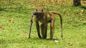 Afrykanin małpa - Baboo Obraz Stock