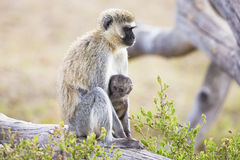 Afrykanin małpi i jej dziecko siedzimy wpólnie Zdjęcia Royalty Free
