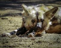 Afrykanin maluj?cy pies zdjęcie royalty free