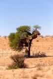 Afrykanin maskujący tkacza gniazdeczko na kgalagadi Fotografia Stock