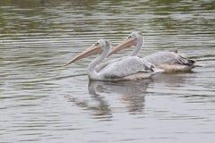 Afrykanin menchii Podparci pelikany Fotografia Royalty Free