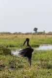 Afrykanin Openbill z skrzydłami rozprzestrzeniającymi wieczór słońce Fotografia Stock