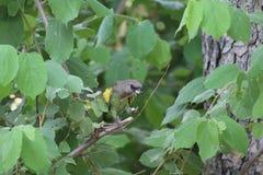 afrykanin papuga Fotografia Royalty Free