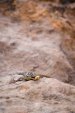 Afrykanin Paskował Skink Trachylepsis striata na kamieniu, Południowa Afryka Fotografia Stock