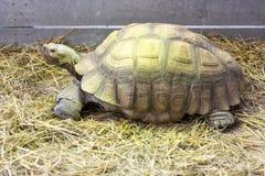 Afrykanin pobudzał tortoise, Centrochelys Sulcata w górę fotografii zdjęcia stock