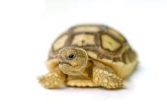 Afrykanin pobudzał tortoise lub geochelone sulcata na białym backgrou Obrazy Stock