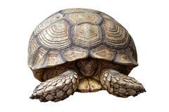 Afrykanin pobudzał tortoise lub geochelone sulcata odizolowywającego na bielu Obrazy Stock