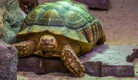 Afrykanin pobudzał tortoise w zbliżeniu, tropikalny gruntowy żółw od pustyni Afryka, Podatny gada specie zdjęcie royalty free