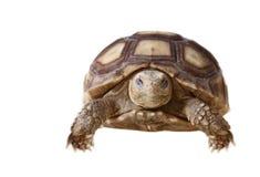 afrykanin pobudzał sulcata tortoise Obrazy Royalty Free