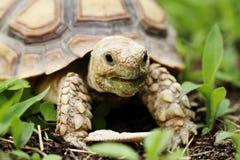 afrykanin pobudzał sulcata tortoise Zdjęcie Royalty Free