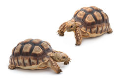 Afrykanin pobudzał sulcata Tortoise, Geochelone sulcata na bielu, Obrazy Stock