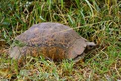 Afrykanin pobudzał tortoise, Jeziorny Nakuru park narodowy, Kenja Fotografia Stock