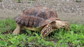 Afrykanin Pobudzająca głodna tortoise łasowania trawa zdjęcie wideo
