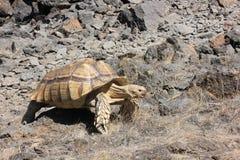 Afrykanin Pobudzający Tortoise na Niewygładzonym Terenie Zdjęcie Stock