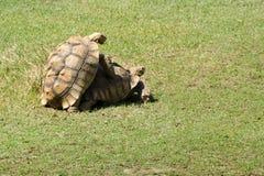 afrykanin pobudzający tortoise Obraz Stock