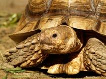 Afrykanin pobudzający tortoise Zdjęcie Royalty Free