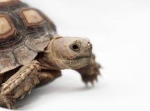 Afrykanin Pobudzający Tortoise Fotografia Stock