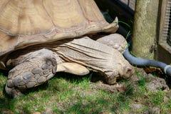Afrykanin pobudzający tortoise, Afryka sawanna Obrazy Stock