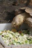 Afrykanin Pobudzający Tortoise - Centrochelys sulcata Fotografia Royalty Free