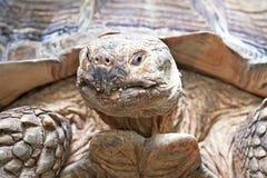 Afrykanin pobudzający tortoise (Centrochelys sulcata) Obrazy Royalty Free