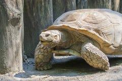 Afrykanin pobudzający tortoise (Centrochelys sulcata) Obraz Stock