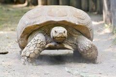 Afrykanin pobudzający tortoise (Centrochelys sulcata) Zdjęcie Royalty Free