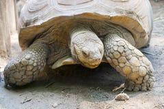Afrykanin pobudzający tortoise (Centrochelys sulcata) Zdjęcia Royalty Free