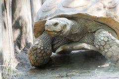 Afrykanin pobudzający tortoise (Centrochelys sulcata) Zdjęcia Stock