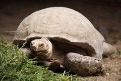Afrykanin pobudzający tortoise (Centrochelys sulcata) Obrazy Stock