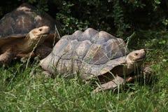 Afrykanin pobudzający tortoise (Centrochelys sulcata) Obraz Royalty Free
