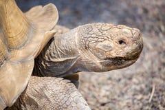 Afrykanin Pobudzający Tortoise - Centrochelys sulcata Obrazy Stock