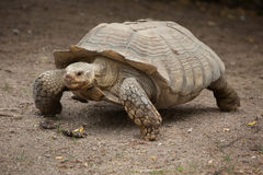 Afrykanin pobudzający tortoise Centrochelys sulcata Zdjęcia Stock