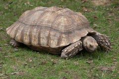 Afrykanin pobudzający tortoise Centrochelys sulcata Obrazy Stock