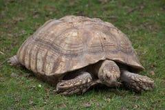 Afrykanin pobudzający tortoise Centrochelys sulcata Zdjęcie Stock