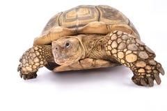 Afrykanin pobudzający tortoise, Centrochelys sulcata Fotografia Royalty Free