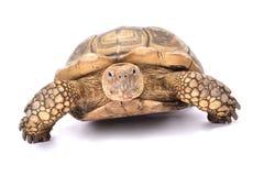 Afrykanin pobudzający tortoise, Centrochelys sulcata Obraz Royalty Free