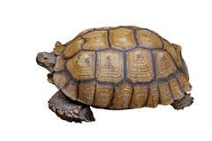 Afrykanin pobudzający tortoise lub geochelone sulcata Obrazy Stock