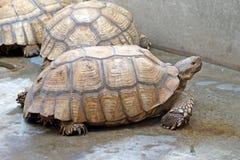 Afrykanin pobudzający tortoise lub geochelone sulcata Obrazy Royalty Free