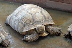 Afrykanin pobudzający tortoise lub geochelone sulcata Fotografia Royalty Free