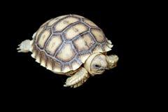 Afrykanin pobudzający tortoise lub geochelone sulcata Zdjęcia Royalty Free
