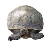 Afrykanin pobudzający tortoise lub geochelone sulcata Zdjęcie Royalty Free