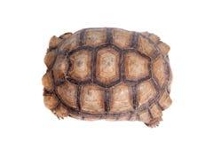 Afrykanin Pobudzający Tortoise na bielu Fotografia Royalty Free