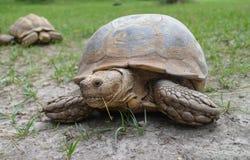Afrykanin pobudzający tortoise na polu Zdjęcia Stock