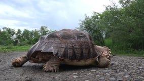 Afrykanin Pobudzający tortoise odprowadzenie zdjęcie wideo