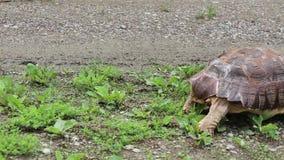 Afrykanin Pobudzający tortoise odprowadzenie zbiory wideo